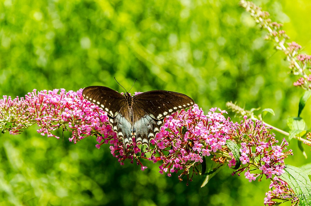 Spicebush Swallowtail by Mary Carol Story