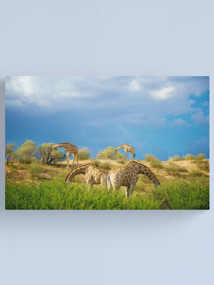 Alternate view of Four Giraffe (Giraffa camelopardalis) feeding. Canvas Print