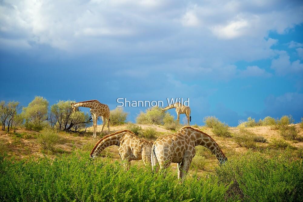 Four Giraffe (Giraffa camelopardalis) feeding. by Shannon Wild