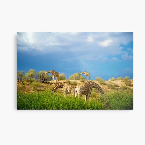 Four Giraffe (Giraffa camelopardalis) feeding. Metal Print