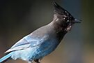 Steller's Jay ~ Provincial Bird of British Columbia, Canada by Robert Elliott