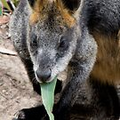 Black Wallaby with Gum Leaf by John Sharp