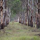 Eucalyptus Avenue. by Elisabeth Thorn