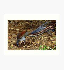 Superb Lyrebird Art Print