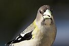 Evening Grosbeak (female) by Robert Elliott