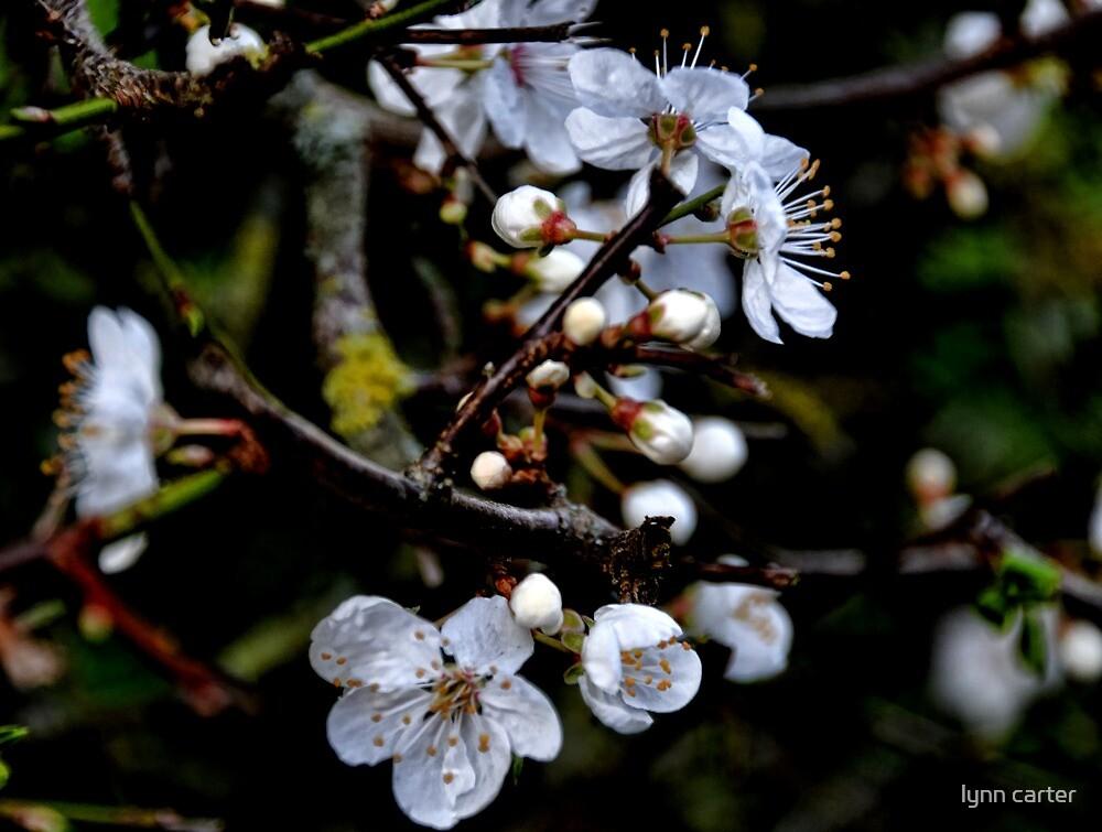 Mirabelle Blossom by lynn carter