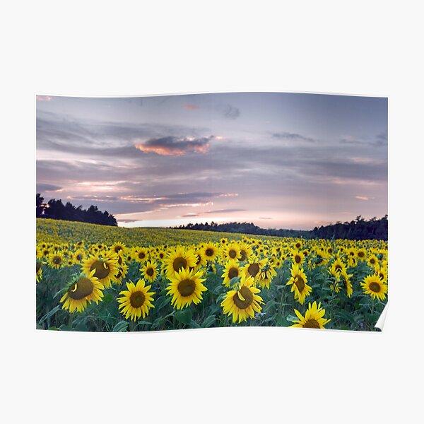 Sunflower field at sunset  Poster