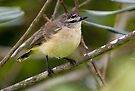 Yellow-rumped Thornbill  ~ Mellow Yellow by Robert Elliott