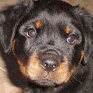 Adorable Rottweiler Puppy Making Eye Contact by taiche