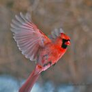 """Flying Cardinal"" by lillis"