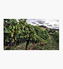 Mudgee Vineyard Photographic Print