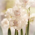 White narcissus and early spring by 7horses