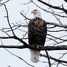 bald eagle by George  Close