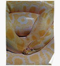 Burmese Python Poster