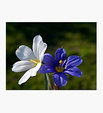 WHITE AND BLUE - BLUE EYED GRASS Photographic Print