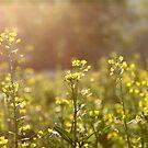 Rape flowers field under sunlight by kawing921