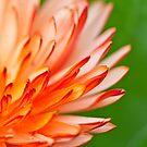Orange flower petals, close-up shot. by kawing921