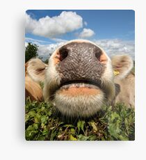 Funny, Amusing, Cow, Portrait Metal Print