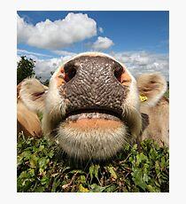 Funny, Amusing, Cow, Portrait Photographic Print