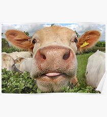 Cow, Funny, Amusing, Portrait Poster