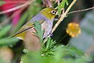 Silvereye  by Robert Elliott