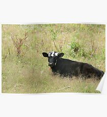 Young Calf in a Pasture Poster