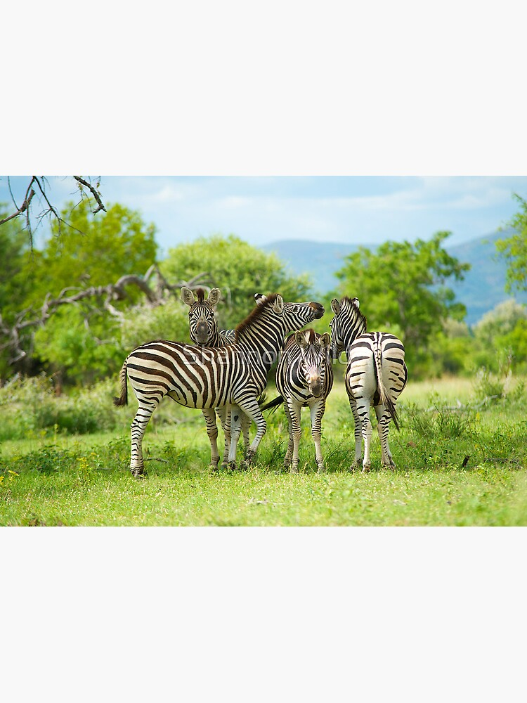 Four Zebra, South Africa by ShannonPlummer