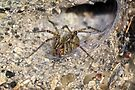 Agelenidae Spider in Funnel Web - Grass Spider by MotherNature