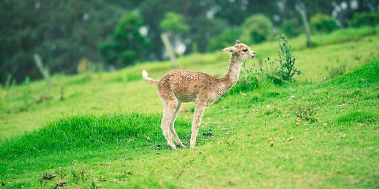 Baby Alpaca, also called Cria  by Rob D