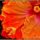 DINNER PLATE HIBISCUS by FL-florida