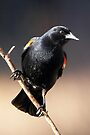 Red-winged Blackbird by Robert Elliott