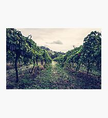 A Vineyard Photographic Print