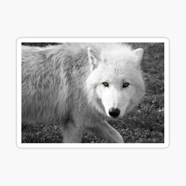 Portrait of an arctic wolf black and white Sticker