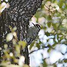 Ladder-backed Woodpecker by Kate Farkas