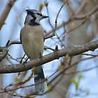 Blue Jay in Early Spring by LisaThomasPhoto