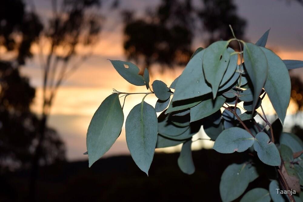 Bluegum Sunset Australia  by Taanja