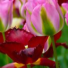 2 Tulips by Shellie Phipps