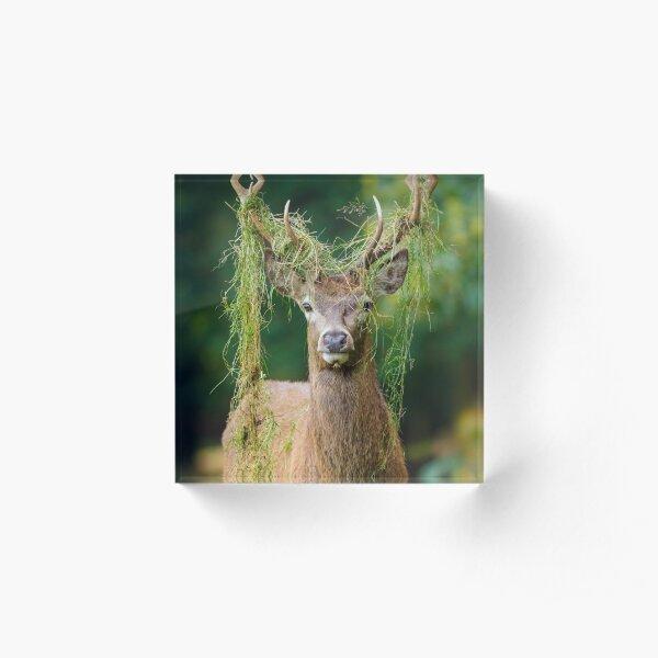 Red Deer Stag Acrylic Block