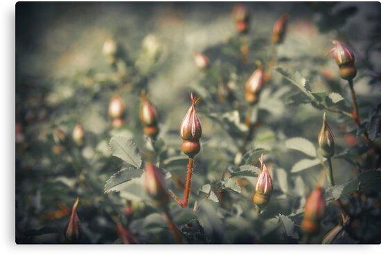 Unblown Rose Bush by cinema4design