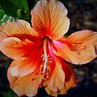 Single orange hibiscus by ♥⊱ B. Randi Bailey