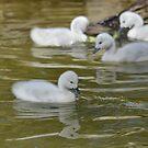 Baby goslings by Kate Farkas