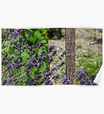 Lavender flowers in a church yard  Poster