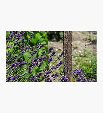 Lavender flowers in a church yard  Photographic Print