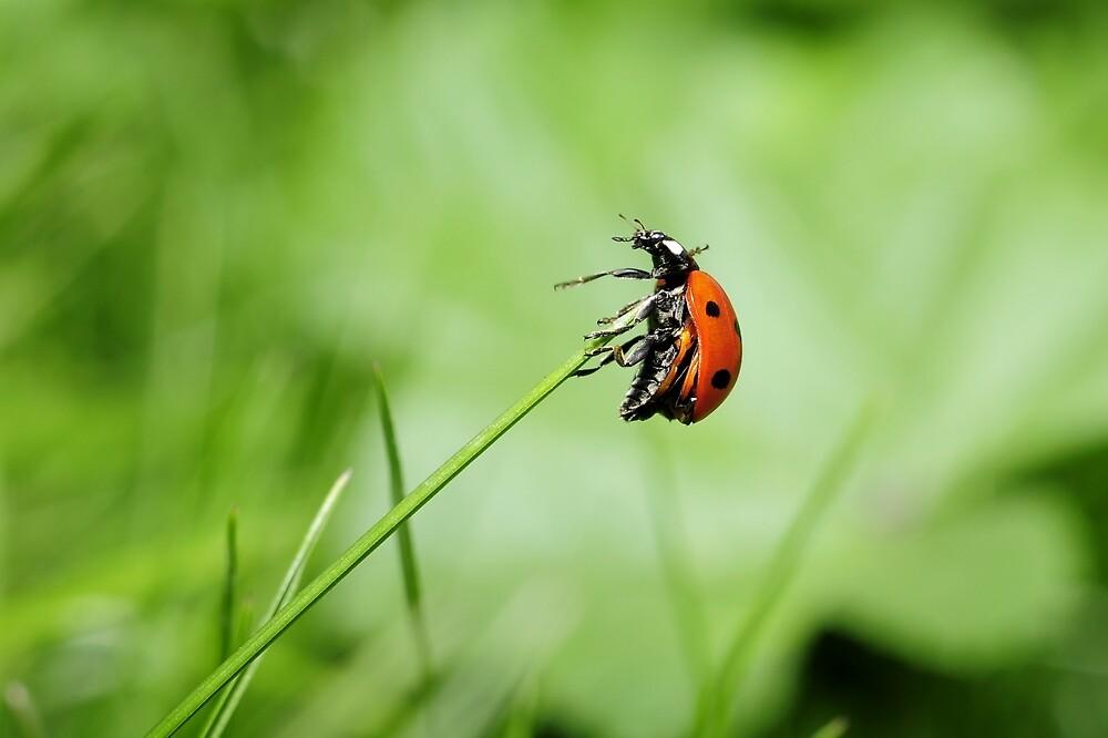 Ladybug by soid