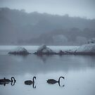 Black Swans, Wilson Inlet, Denmark by pennyswork