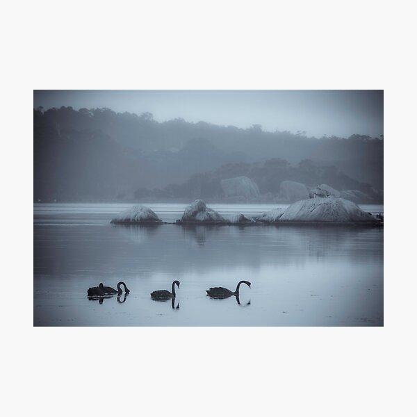 Black Swans, Wilson Inlet, Denmark Photographic Print