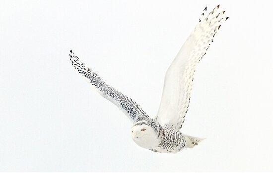 Afternoon Flight - Snowy Owl by Jim Cumming