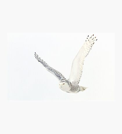 Afternoon Flight - Snowy Owl Photographic Print