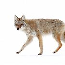 Coyote by Jim Cumming