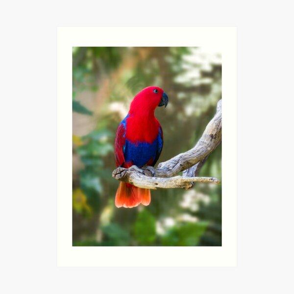 Female Electus Parrot Art Print